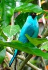 Blue-Green-Tanager-hiding